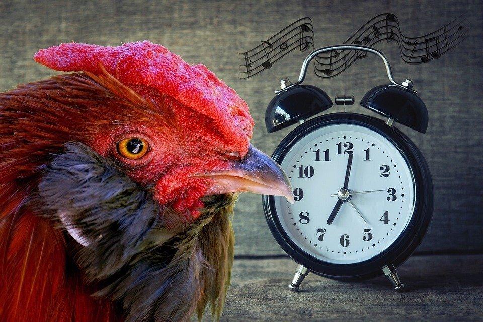 Gallo y despertador