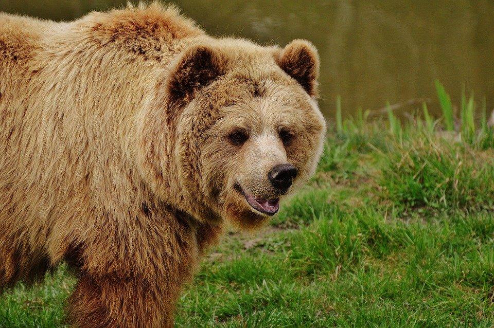 Cronotipo oso